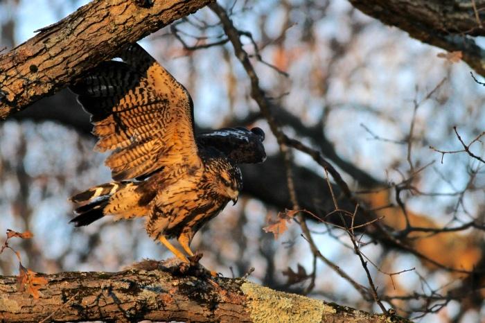 Great Black Hawk with breakfast